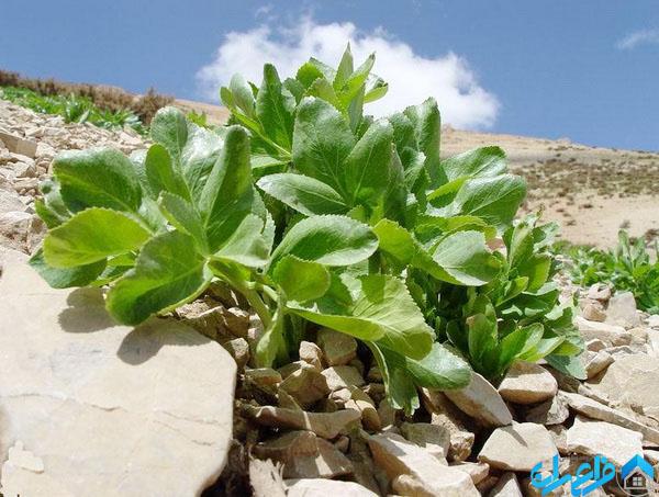 گیاهان بومی